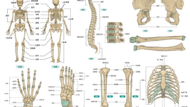 書籍用の骨格図のイラスト制作依頼