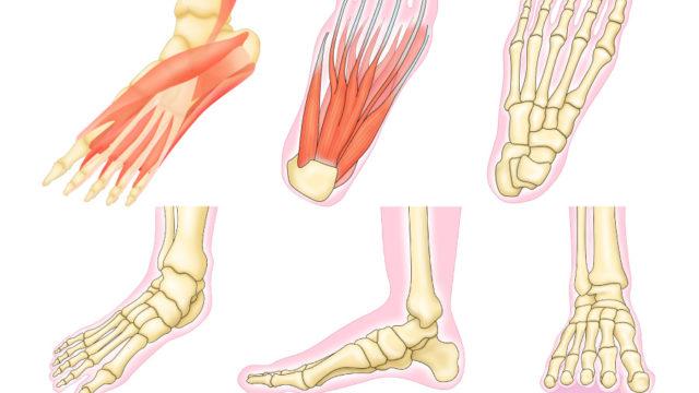 骨格図や筋肉図の制作依頼